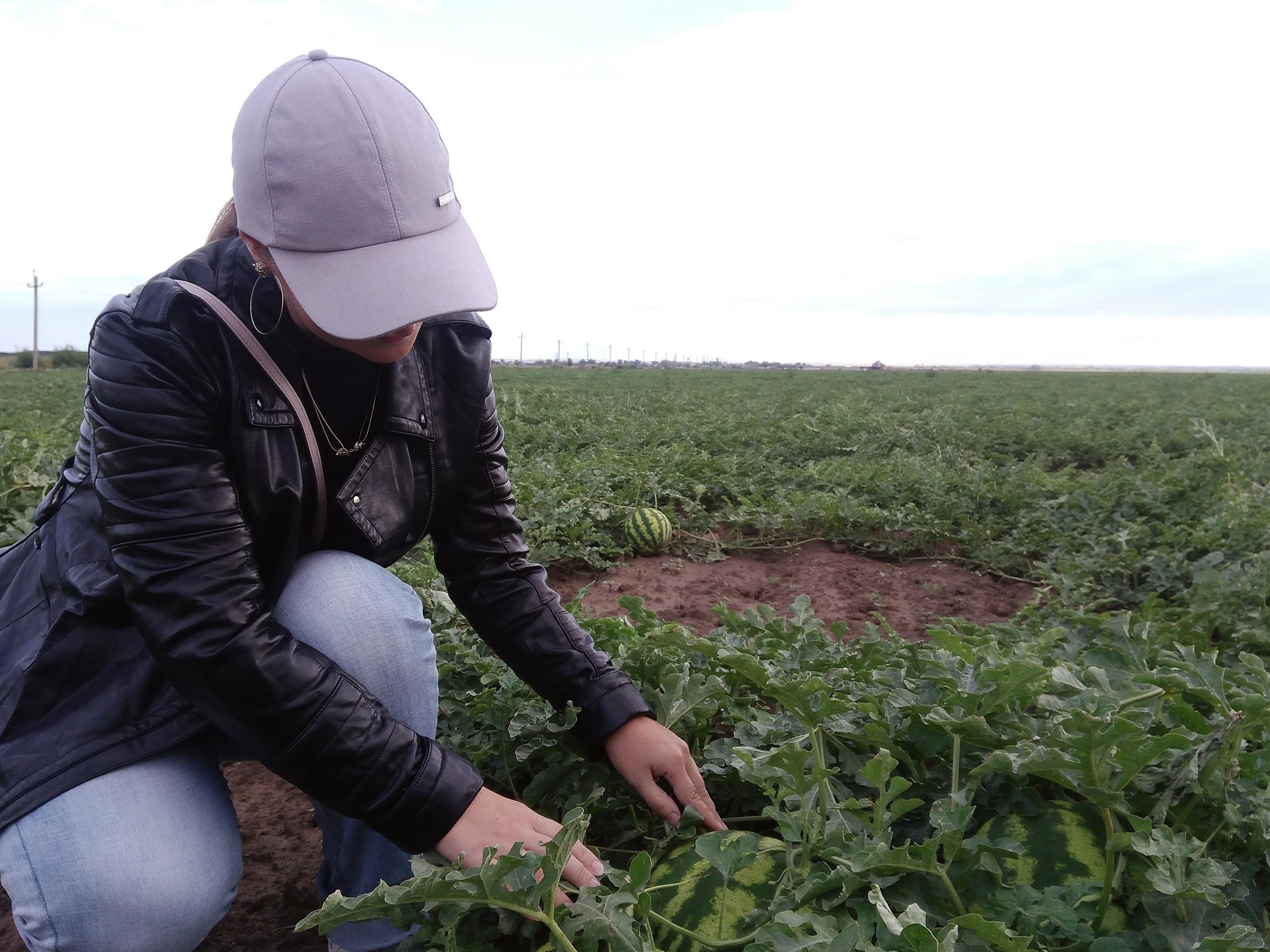 Бахча - арбузные поля в Соль-Илецке